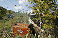 In May, a swarm has formed on the branch of a tree. The queen has just left her beehive with half the colony. On the branch, she is waiting for the return of her scout workers when they have found a location suitable for a new colony to settle.