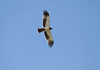 Booted Eagle - Hieraaetus pennatus - Pale Phase