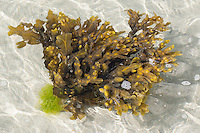 Blasentang, Blasen-Tang, Fucus vesiculosus, Halidrys vesiculosus, bladder wrack, bladderwrack, black tang, rockweed, bladder fucus, sea oak, black tany, cut weed, dyers fucus, red fucus, rock wrack, Paddy Tang