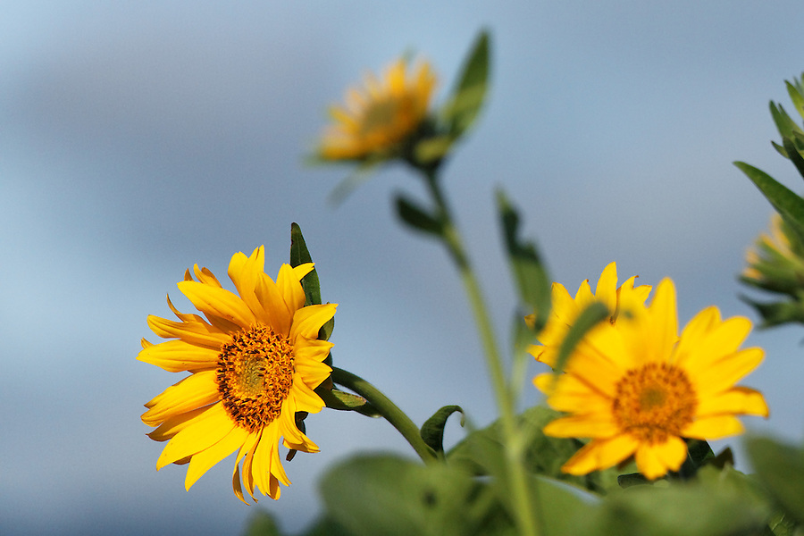 Arrowleaf balsamroot, Tom McCall Wildflower Preserve, Rowena, Oregon, USA