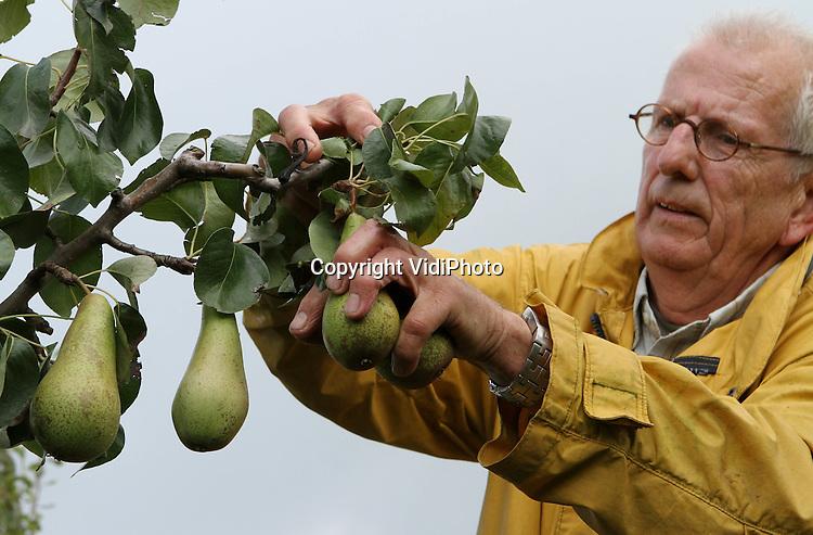Foto: VidiPhoto..DODEWAARD - Fruitteler Wiggelo uit Dodewaard is als een van de eerste fruittelers donderdag begonnen met de oogst van zijn conference peren. De conference is de meest populaire en een van de duurste peren. Op dit moment, aan het begin van het oogstseizoen, zijn de prijzen zelfs het dubbele van vorig jaar. Bovendien is de productie bij Wiggelo vergelijkbaar met dat van vorig jaar. De teler uit Dodewaar richt zich vooral op peren. Van de 27 ha. fruit heeft hij slechts 3 ha. appels.