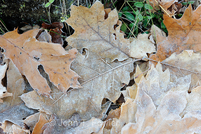 Oak leaves on forest floor
