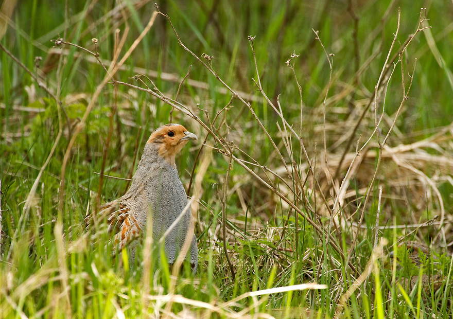 Grey partridge (Perdix perdix), Matsalu Bay Nature Reserve, Estonia