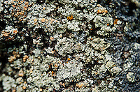 Lichen grows on a rock near Bear Peak in Boulder, Colorado, Saturday, June 4, 2011. Elevation is 8,416 feet. ..Photo by Matt Nager