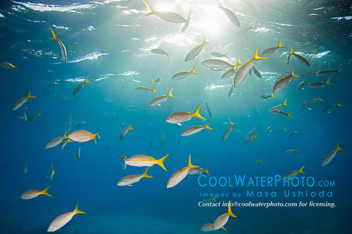 Yellowtail Snappers, Ocyurus chrysurus, West End, Grand Bahamas, Atlantic Ocean