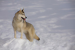 Siberian Husky posed in the snow Shopping cart has 3 Tabs:<br />