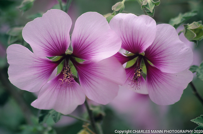 A closeup of the  blooms of Rose of Sharon, Hibiscus syriacus, reveals a study in soft lavender hues