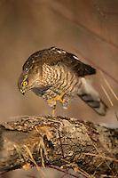Sparrowhawk, female, perching, Accipiter nissus, Bulgaria