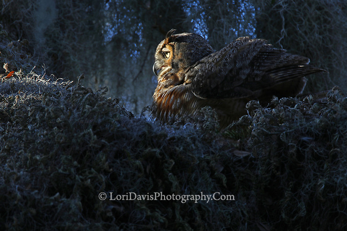 Sunrise great horned owl   #B160