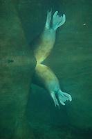 Pacific Walrus (Odobenus rosmarus) rear flippers.