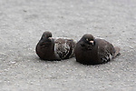 PAIR OF DOMESTIC PIGEON (ROCK DOVE) REST ON ASPHALT PAVING