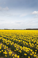Daffodils growing in the Lincolnshire Fens<br /> Picture Tim Scrivener 07850 303986 <br /> scrivphoto@btinternet.com<br /> &hellip;.covering agriculture in the UK&hellip;.