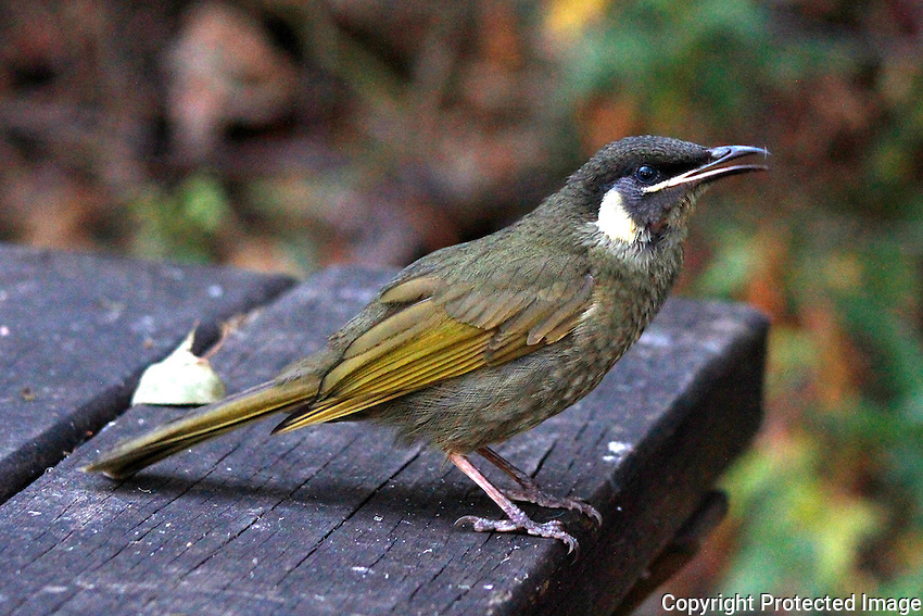 Lewin's Honeyeater, Border Ranges National Park, New South Wales