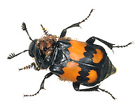 Sexton Beetle - Nicrophorus vespilloides
