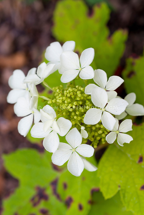Hydrangea quercifolia Little Honey flowers