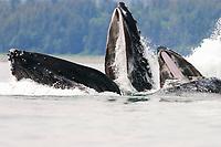 humpback whales, Megaptera novaeangliae, co-operatively bubble-net feeding, Stephen's Passage, Alaska, USA, Pacific Ocean