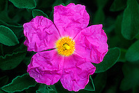 178140001 a wild rock rose native flowering plant cistus villosa produces large showy pink flowers in the antelope valley of california