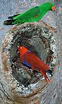 Nesting Eclectus parrots.