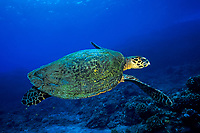 hawksbill sea turtle or honu (H), Eretmochelys imbricata, ( an endangered species ) Keahole Point, Kona, Big Island, Hawaii, USA, Pacific Ocean