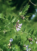 BUSH VETCH Vicia sepium (Fabaceae) Height to 1m<br /> Scrambling, slightly downy perennial of rough, grassy places and scrub. FLOWERS are 12-15mm long and pale lilac; borne in groups of 2-6 flowers (Apr-Oct). FRUITS are black, hairless pods. LEAVES comprise 6-12 pairs of broadly oval leaflets and end in branched tendrils. STATUS-Common and widespread throughout.