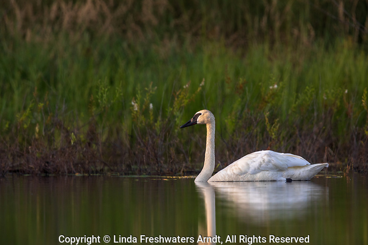Trumpeter swan in northern Wisconsin.