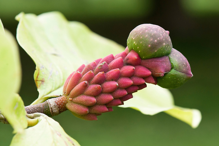 Swollen carpels of the fruit on Magnolia acuminata x (x soulangeana 'Picture'), early October.