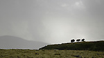 Musk Ox female with two calves (Ovibos moschatus), Dovrefjell National Park, Norway