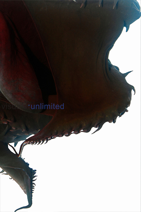 Deep sea Vampire Squid (Vampyroteuthis infernalis)