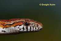 1R22-611z  Corn Snake, Banded Corn Snake, Elaphe guttata guttata or Pantherophis guttata guttata, close-up of head and eye