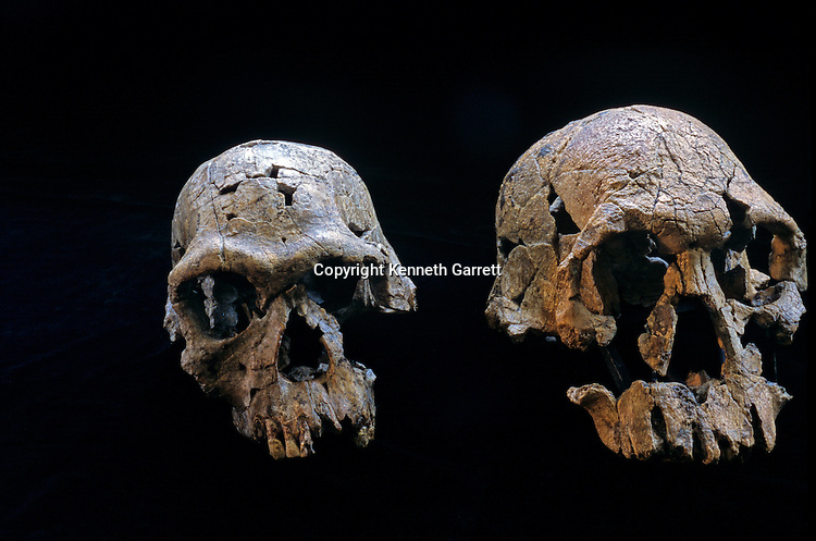 Leakey, Homonid, KNM-ER 1813, KNM-ER 1470, Kenya National Museum, Kenya, DOH; The First Steps; Homo habilis;  2.5 to 1.6 million years ago; Southern Africa and Homo rudolfensis, Eastern Africa,.