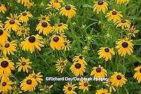 63821-23001 Black-eyed Susans (Rubeckia  fulgida  var. speciosa 'Viette's Little Suzy') Marion Co., IL