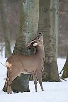 Europäisches Reh im Schnee, Bock wetzt, fegt sich das Geweih, , Winter, Rehwild, Reh-Wild, Rehbock, Männchen, Capreolus capreolus, roe deer, snow