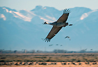 March 11, 2016 - Monte Vista, Colorado, U.S. -  A Sandhill Crane flies over the fields of Southern Colorado's Monte Vista National Wildlife Refuge.<br /> <br /> Each year more than 20,000 Sandhill Cranes migrate through the wetlands of the San Luis Valley's Monte Vista National Wildlife Refuge, Monte Vista, Colorado.  The Rocky Mountain population of the Greater Sand Hill Cranes spends more time in the San Luis Valley than at either of their wintering or breeding grounds.  The peak springtime migration is mid-March.