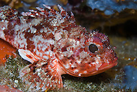 Red Scorpionfish (Scorpaena notata) <br /> France: Corsica, Lavezzi Archipelago, Passage du Cavallo, 'Turtle Rock'