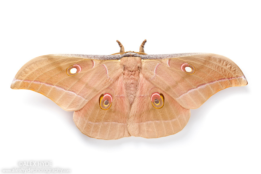 Chinese Oak Tussah Silkmoth {Antheraea pernyi} male, photographed on a white background. The cocoons of this moth are used to make tussah silk (a wild silk). Captive insect, originating from China.