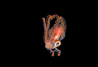 pelagic male Blanket Octopus, Tremoctopus species, blackwater dive off Anilao, Philippines, Pacific Ocean
