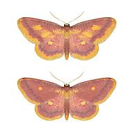 70.002 (1698)<br /> Purple-bordered Gold - Idaea muricata