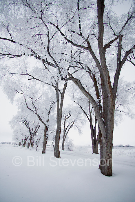 Cottonwood trees covered with frost in Lovelock, NV.