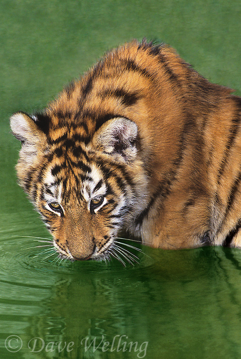 684089128v a wildlife rescue siberian tiger cub panthera tigris altaicia drinks and bathes in a small pond at a wildlife rescue facility - species is highly endangered in its hative home range in the high steppes of central asia