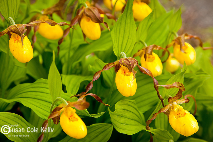 Large Yellow Lady's Slipper (Cypripedium pubescens) at the Acadia Wild gardens in Acadia National Park, Downeast, ME, USA