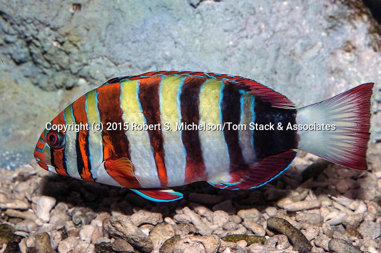 Harlequin tuskfish swimming left