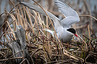 Arctic Terns (Sterna paradisae) tend nests in the coastal wetlands of Southcentral Alaska. Photo by James R. Evans