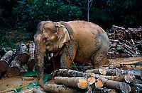 In Thailand, as in many countries in Asia, the Asian elephant has been domesticated and used by humans for many years to work in the logging industry. Following the ban on commercial logging in Thailand in 1988 these working elephants were no longer needed. Suddenly, hundreds of elephants and their owners were left with a very uncertain future, and their owners have been forced to seek alternative methods to use their elephants to make a living.