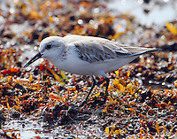 Sanderling in nonbreeding plumage in early April