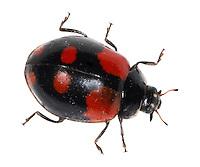 2-spot Ladybird - Adalia bipunctata