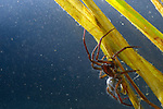 Diving Bell Spider or Water Spider (Argyroneta aquatica), male underwater, Tuscany, Italy