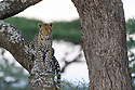 Female leopard (Panthera pardus) climbing an Acacia tree. Woodland on the edge of the short grass plains of the Serengeti / Ngorongoro Conservation Area (NCA) near Ndutu, Tanzania.