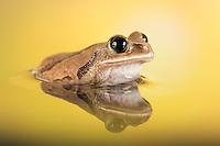 Globe Eyed Tree Frog