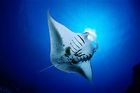 reef manta ray feeding on plankton, Manta alfredi, Kona Coast, Big Island, Hawaii, USA, Pacific Ocean, digital composite