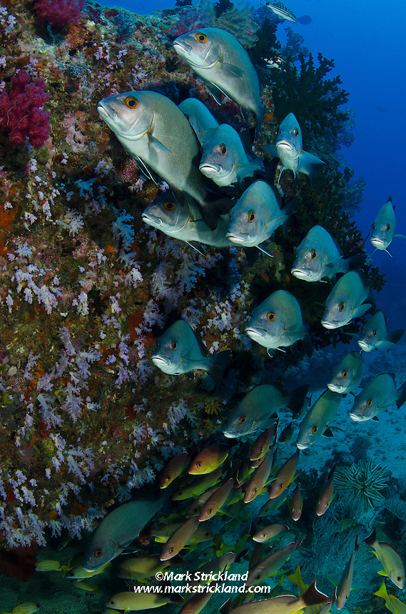 A school of Sri Lankan Sweetlips, Plectorhinchus sp., and various snappers, hover near a soft coral covered bommie. Johnny's Gorge, Andaman Islands, India, Andaman Sea